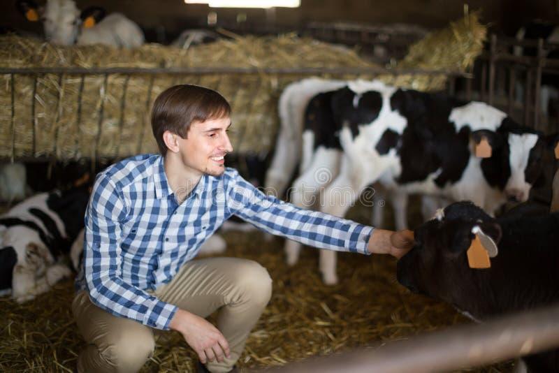 Empregado do sexo masculino com o gado de leiteria na fazenda de cria??o foto de stock