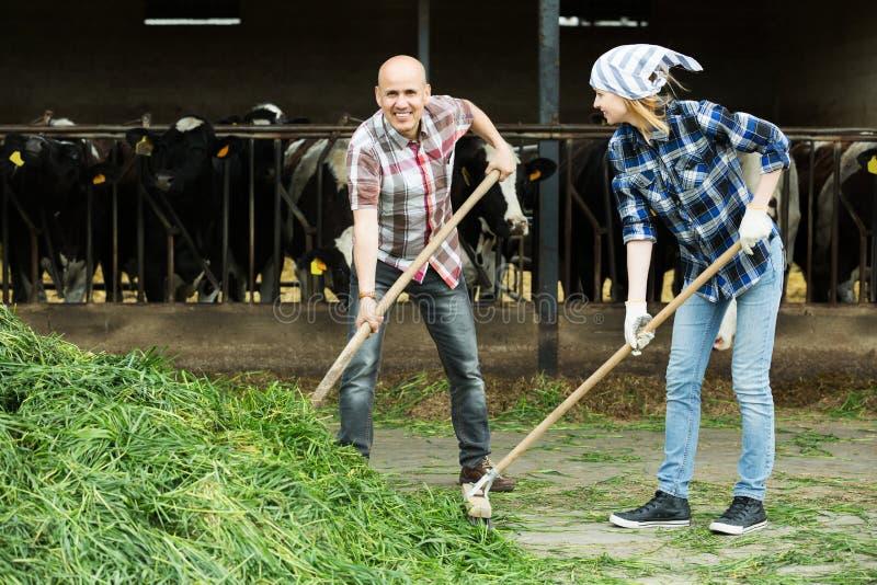 Empregados que trabalham no celeiro dos rebanhos animais foto de stock royalty free