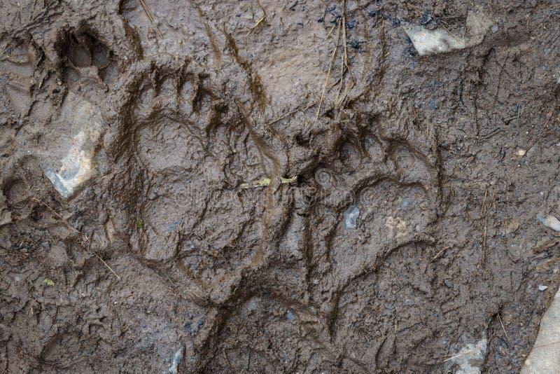 Empreinte d'ours noirs frais dans la boue sur le sentier de randonnée, sortie du glacier, parc national Kenai Fjords, Seward, Ala photo libre de droits