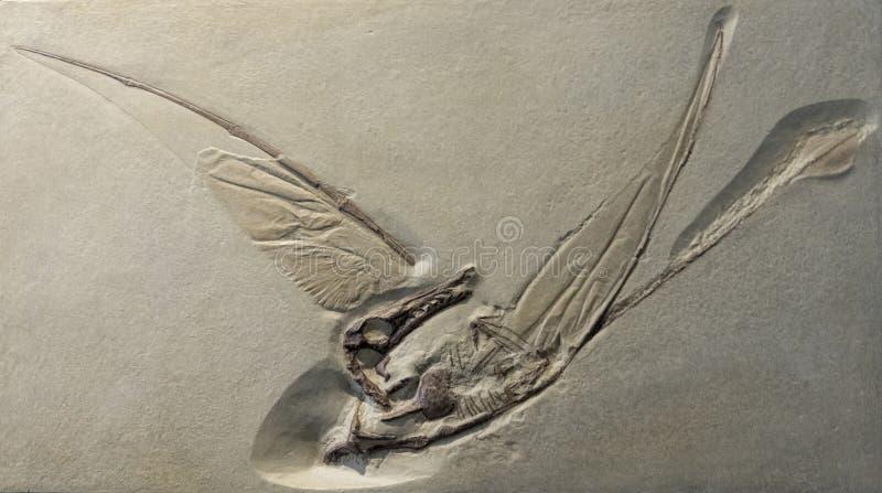 Empreinte fossile de Rhamphorhynchus, un ptérosaure volant de la période jurassique images stock