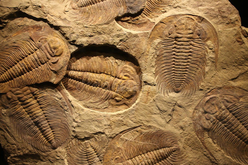 Empreinte fossile de trilobite dans le sédiment photographie stock