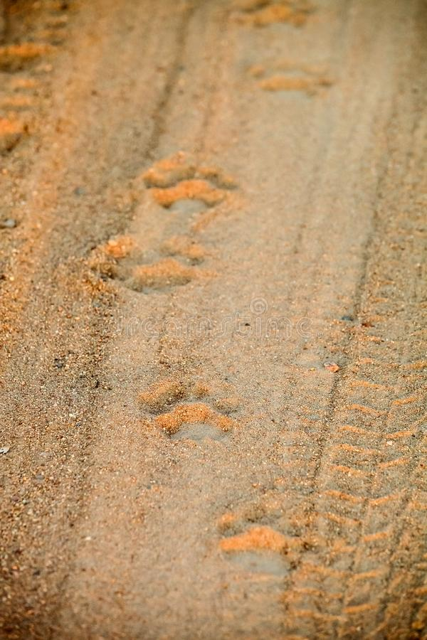 Empreintes de pas africaines de lion sur un chemin de terre sur le safari photo stock