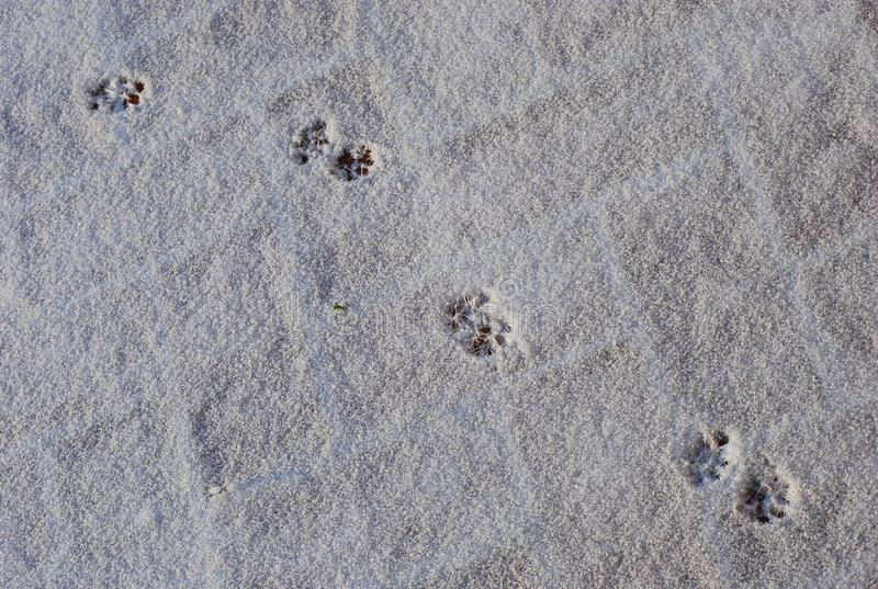 Empreintes de pas de chat dans une neige blanche images stock