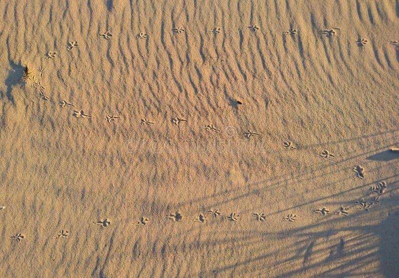 Empreintes de pas d'oiseau dans le sable photos libres de droits