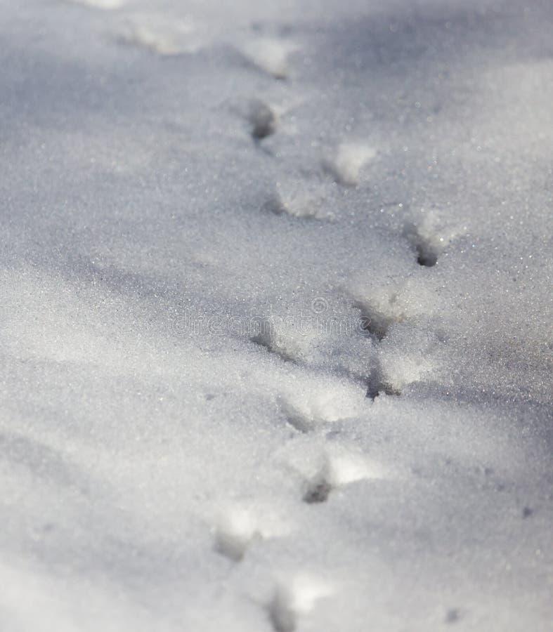Empreintes de pas d'oiseau sur la neige photographie stock libre de droits