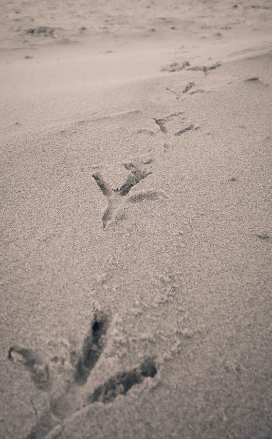 Empreintes de pas d'oiseau sur la plage de sable photos stock