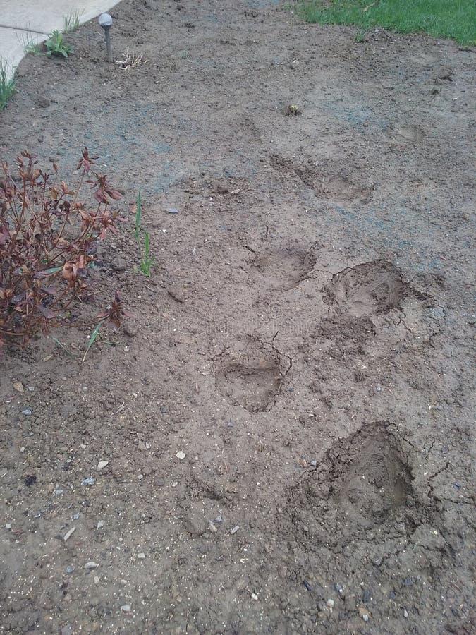 Empreintes de pas d'ours images stock