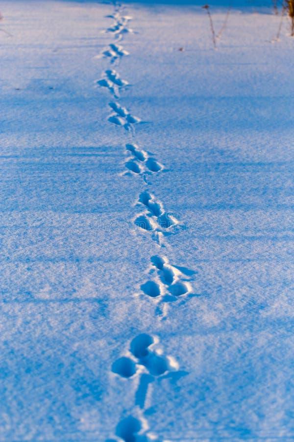 Empreintes de pas d'un chien dans la neige au coucher du soleil photographie stock