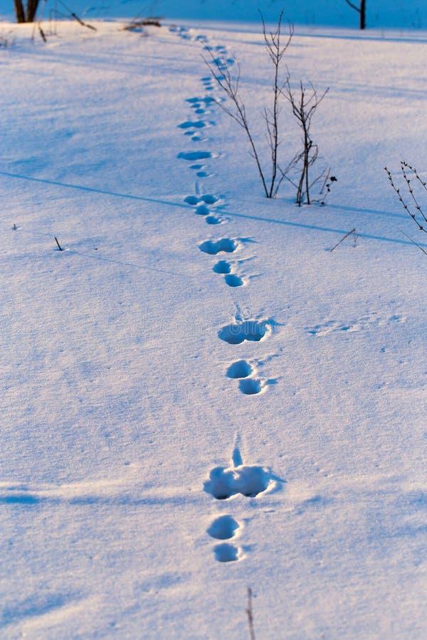 Empreintes de pas d'un chien dans la neige au coucher du soleil image stock