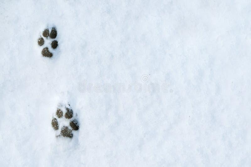 Empreintes de pas d'un chien sur le fond de neige photo libre de droits