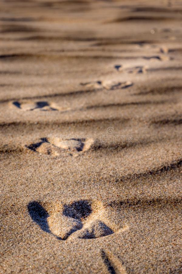 Empreintes de pas d'un oiseau en sable photo stock