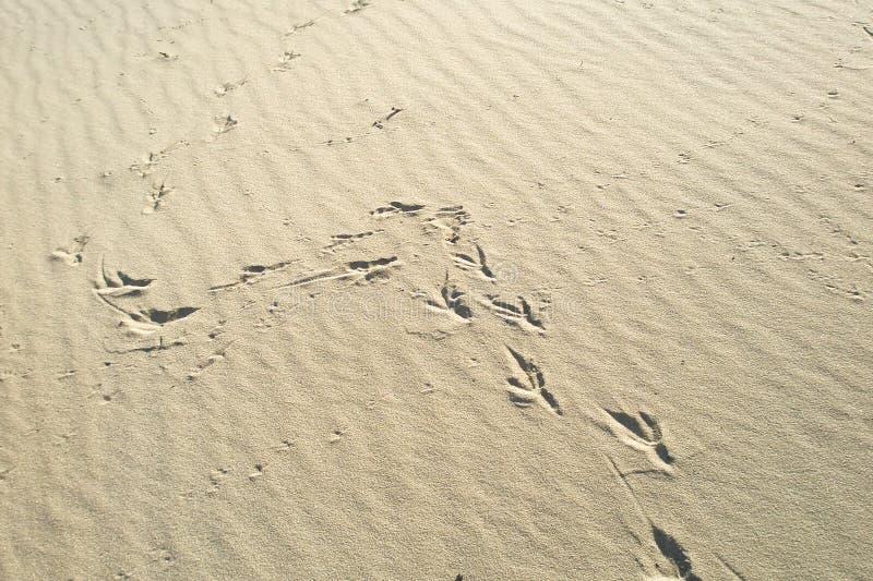 Empreintes de pas dans le sable de l'oiseau, images stock