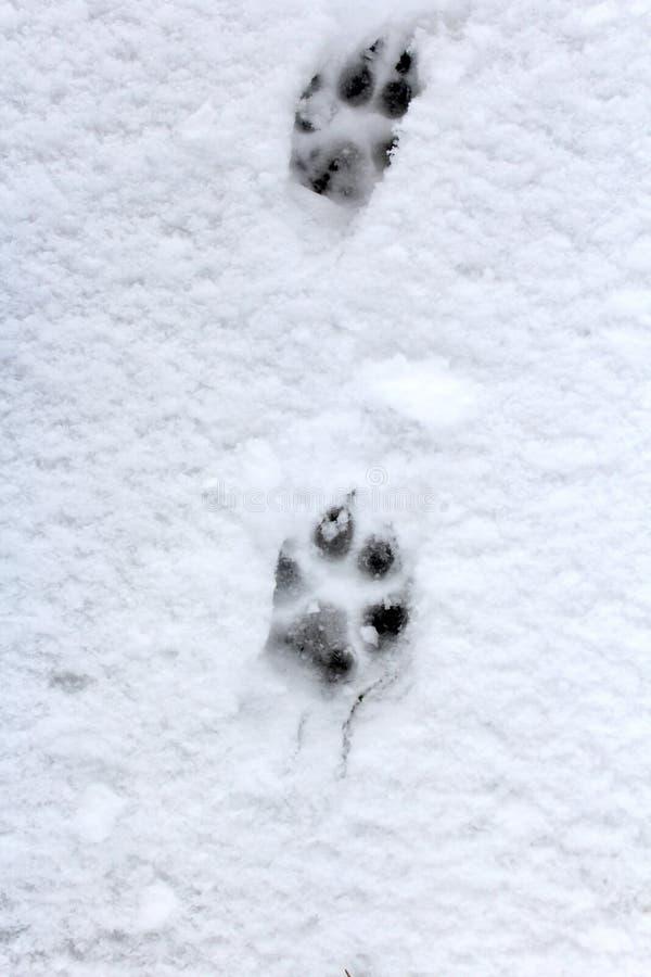 Empreintes de pas de chien dans la neige blanche image stock