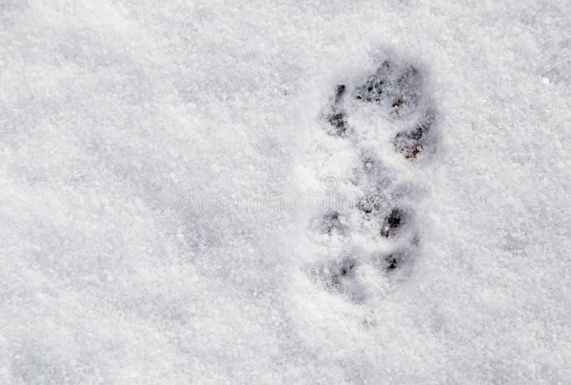 Empreintes de pas de chien dans la neige comme fond photos libres de droits