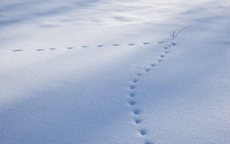 Empreintes de pas de Fox dans le point d'interrogation de forme de neige photos stock