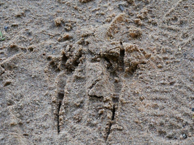 Empreintes Oiseau dans le sable photo libre de droits