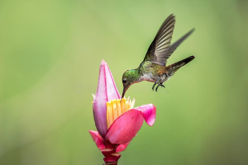 Empress brilliant hovering drinking nectar from favourite pink flower. Animal behaviour. Ecuador,hummingbird. From mountain rainforest,beautiful bird in garden stock photography