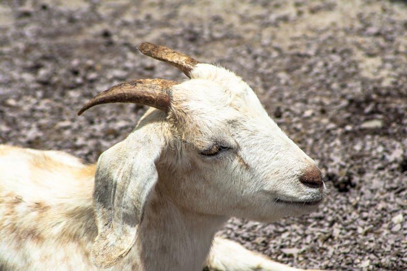 Emprisonnement d'ob de chèvre de bébé image libre de droits