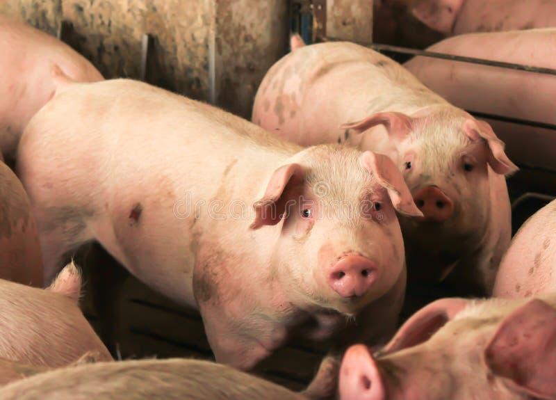 Emprisonnement de porc images stock