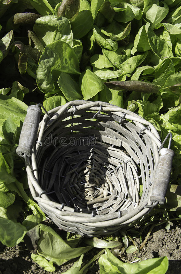 Empty basket green salad. Empty basket in a field of green salad in a summer day stock photo