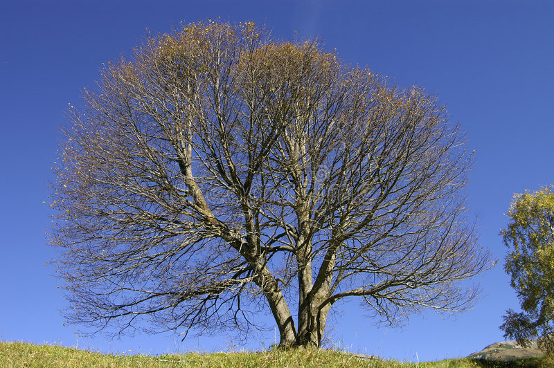 Empty Beech Tree royalty free stock image