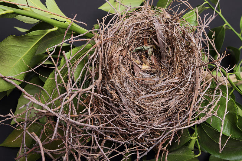 Empty Bird Nest. An empty bird nest with tree branches and black background royalty free stock images