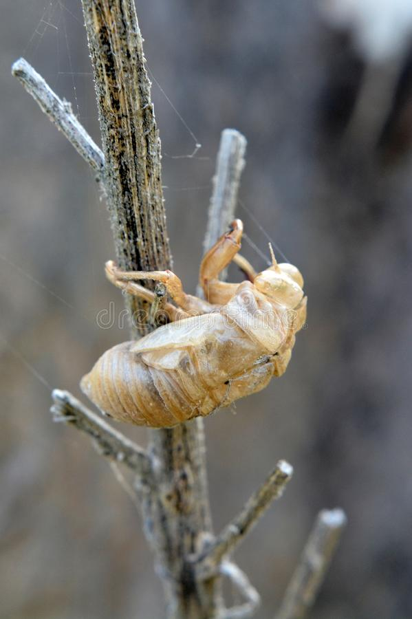 The Empty Shell Of A Cicadas On A Stick stock image