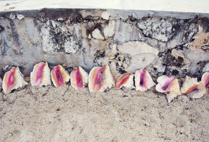 Empty conch shells near a beach. In Bahamas stock photo