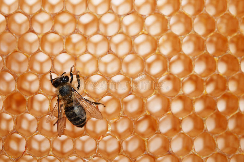 Empty honeycomb with bee