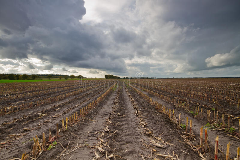 Empty maize field. In autumn under dark clouds stock images