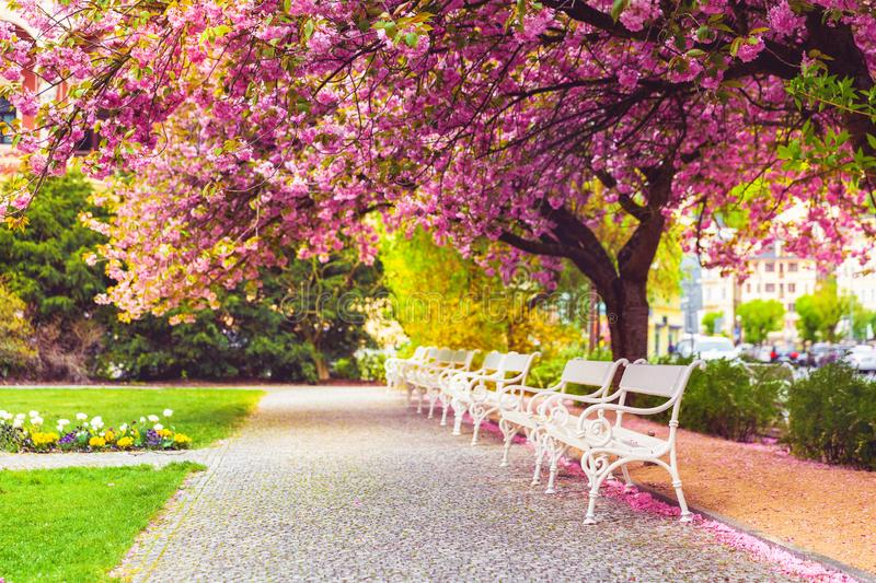 Empty park with blossom sakura and benches royalty free stock images