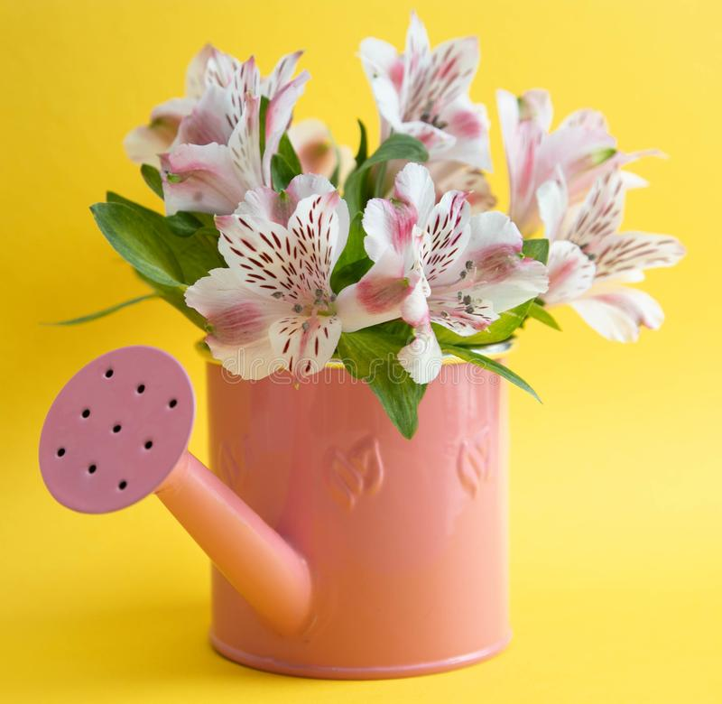 Empty pink watering can and three crimson gerbera flowers lying diagonally. Three red flowers and an empty watering can on a stock photography