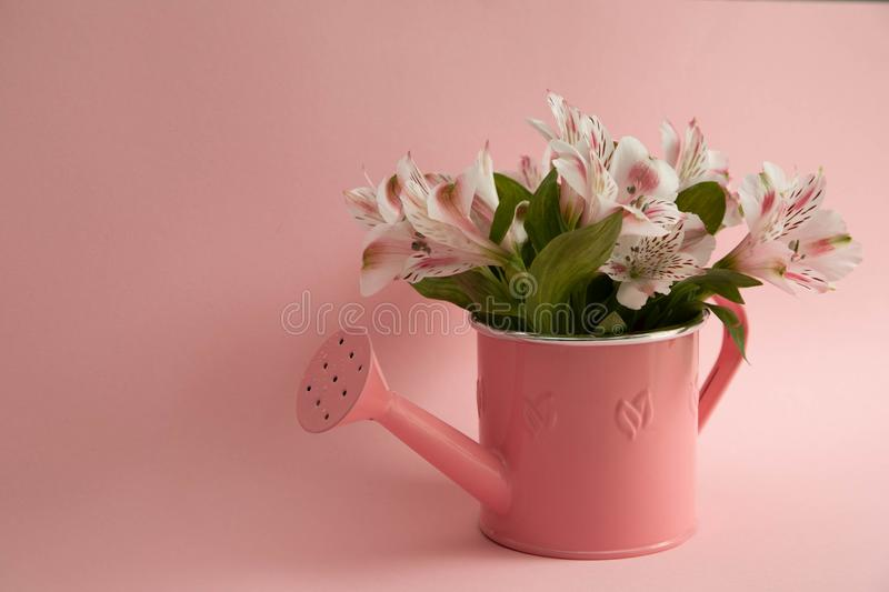 Empty pink watering can and three crimson gerbera flowers lying diagonally. Three red flowers and an empty watering can on a stock image