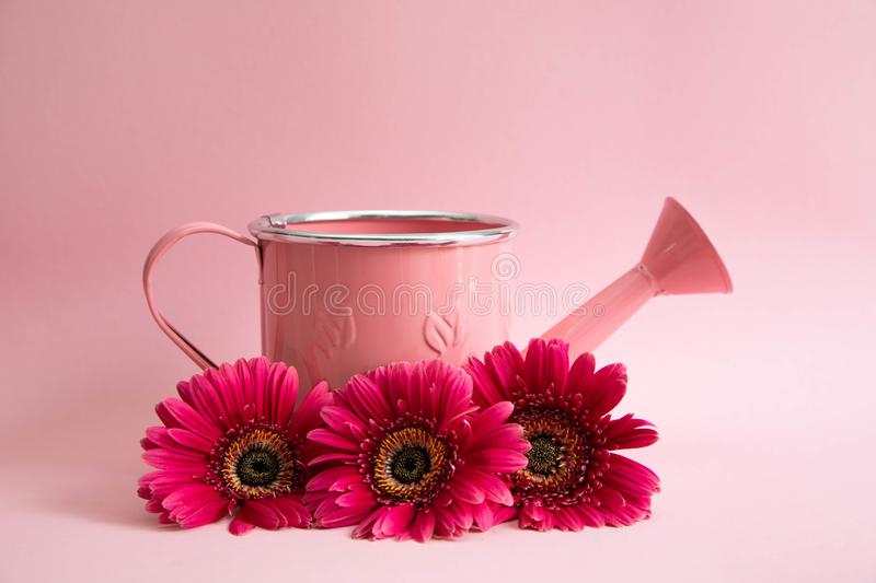 Empty pink watering can with three flowers of red gerberas. Next to the watering can are three crimson daisies on a pink royalty free stock photography