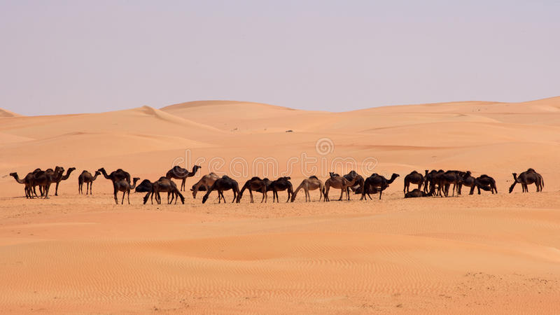 Empty Quarter Camels stock photos