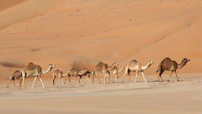 Empty Quarter Camels stock photo