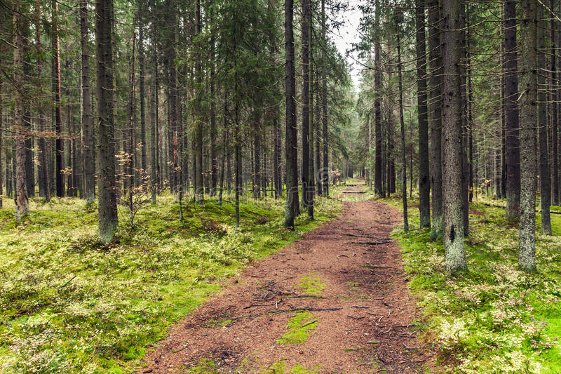 Empty road in pine tree forest, Karelia stock images