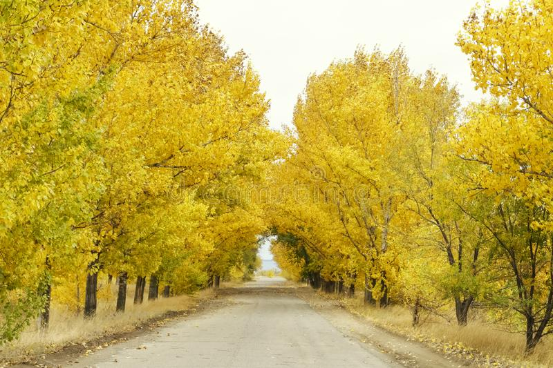 Road under yellow tree crowns in autumn stock images