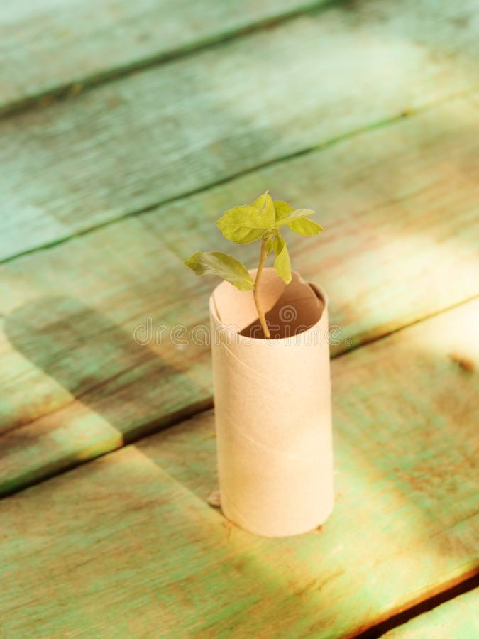 Empty rolls of toilet paper with the plant inside as a seedling tree. royalty free stock photo
