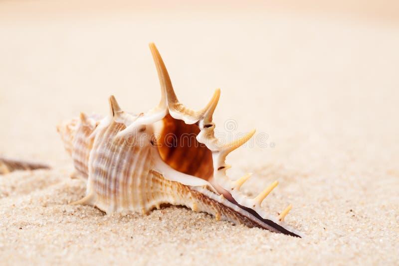 Empty seashell in the sand on a beach, macro shot.  stock image