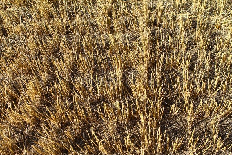 Empty stubble field after harvest, autumn background close up. Empty stubble field after harvest, autumn background stock photo