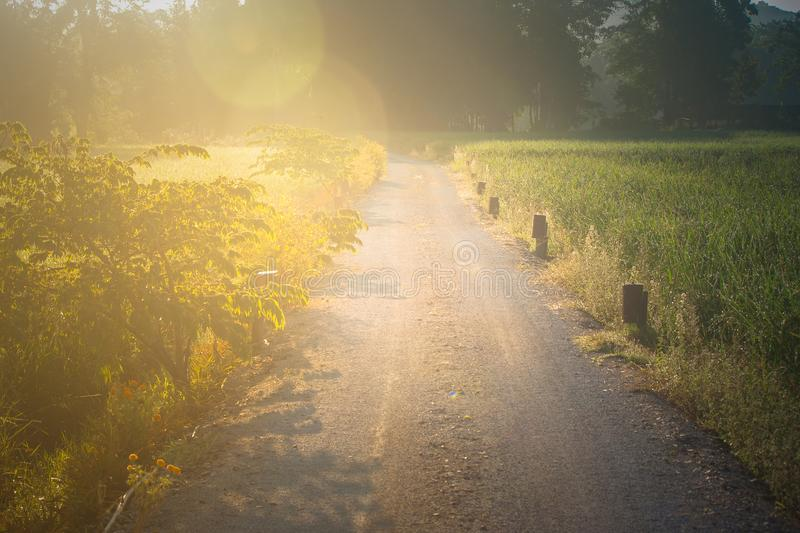 Empty walkway or pathway in rice field with sunlight in the morning at Chiang Rai Province. royalty free stock photo