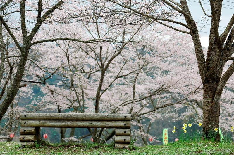 An empty wooden bench under pink sakura blossoms Cherry Trees on a green grassy hill in Miyasumi Park, Okayama, Japan royalty free stock photo