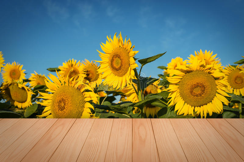Empty wooden table in sunflower field with blue sky. stock photo