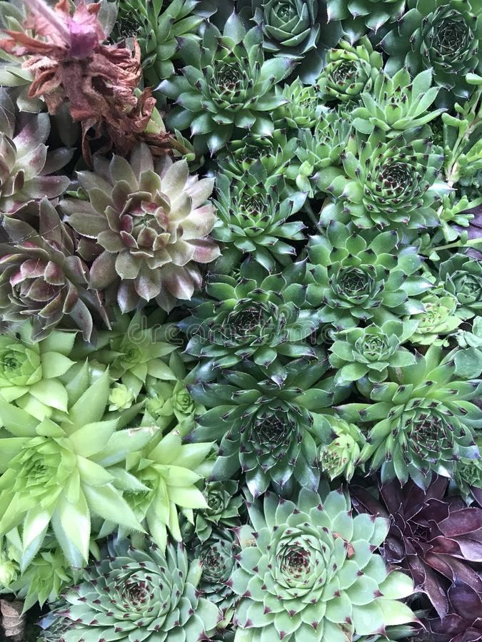Empujón de las plantas de Sempervivum para el espacio fotografía de archivo libre de regalías