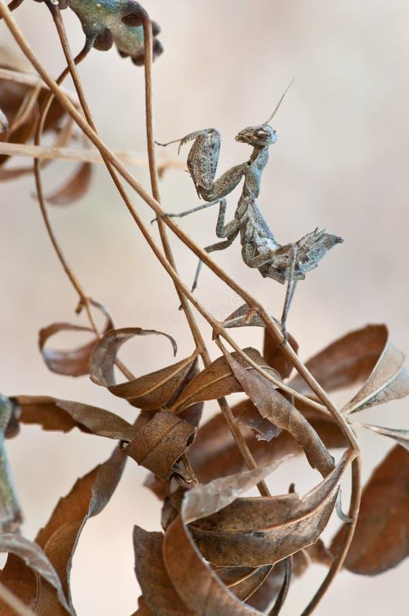 Empusa乱弹在干燥叶子中被伪装 免版税库存照片