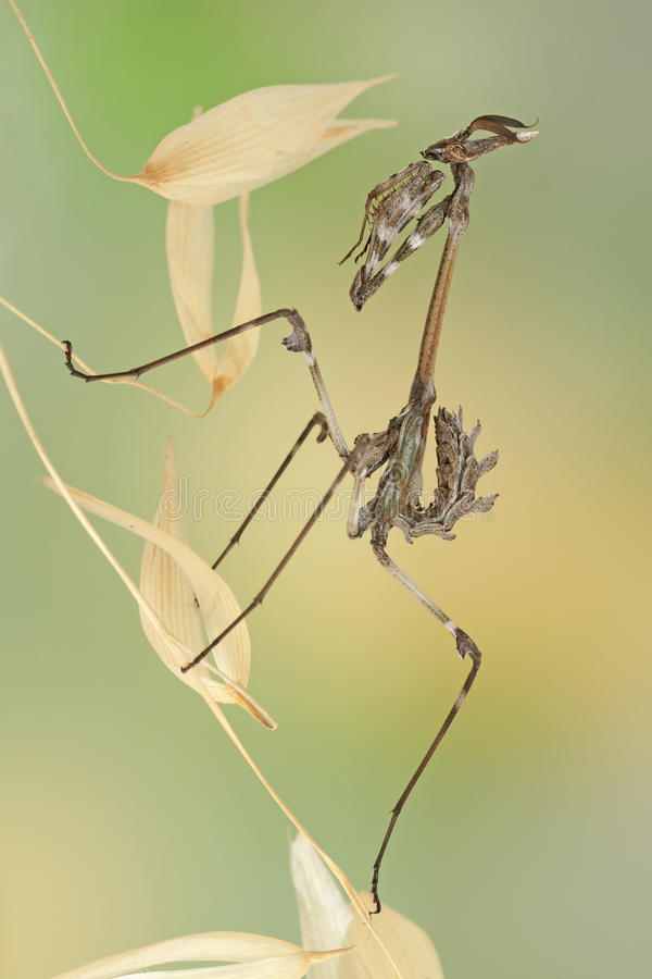 Empusa pennata Insekt stockfoto