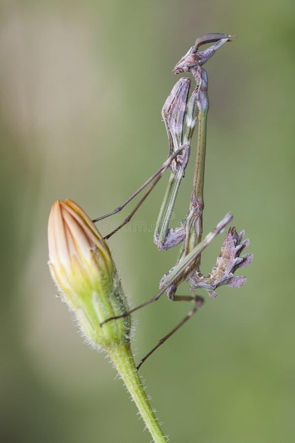Empusa SP στην Τουρκία, conehead mantis στοκ εικόνες