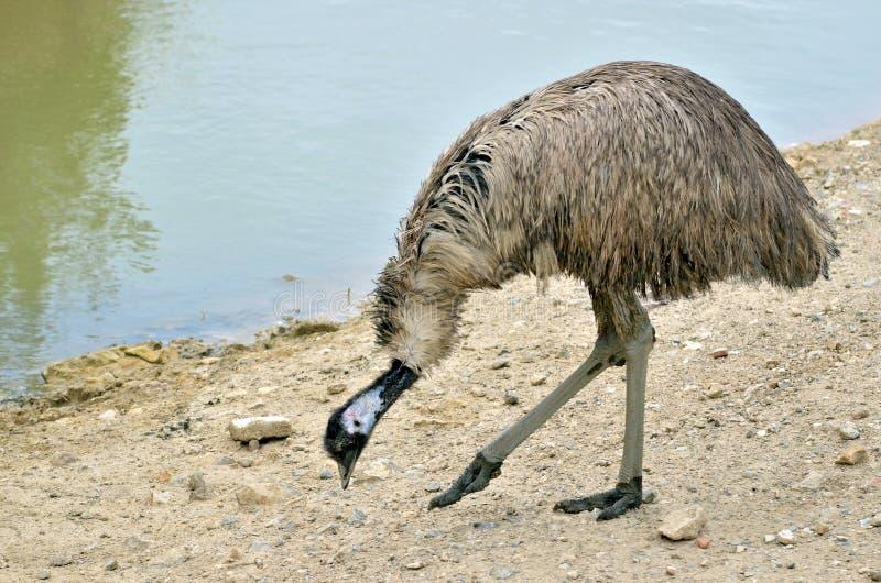 Emu гуляя около пруда стоковое изображение