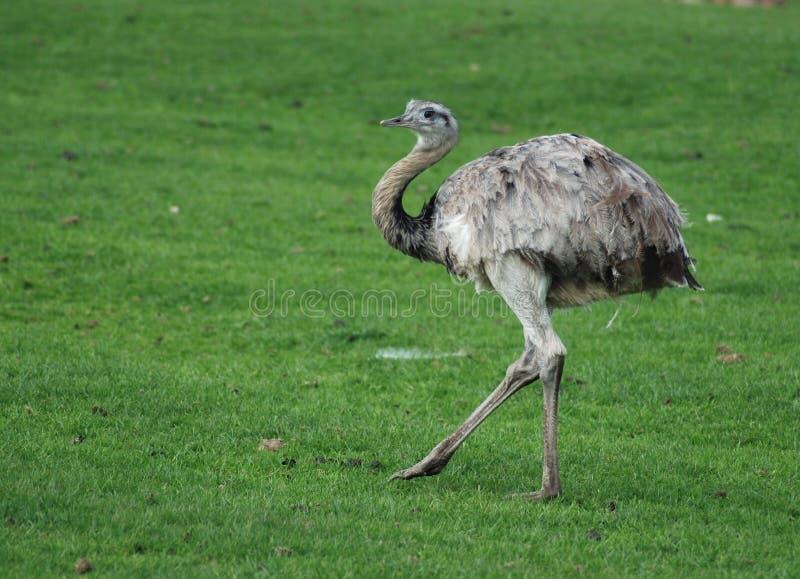 Emu imagens de stock
